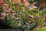 Sedum telephium 'Matrona' in autumn border with Perovskia 'Blue Spire', Persicaria affinis 'Superba' RHS, Stipa gigantea and Verbena bonariensis - September