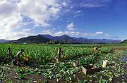 Taro Farm, Hanalei, Kauai, Hawaii (editorial use only, no model release)<br />