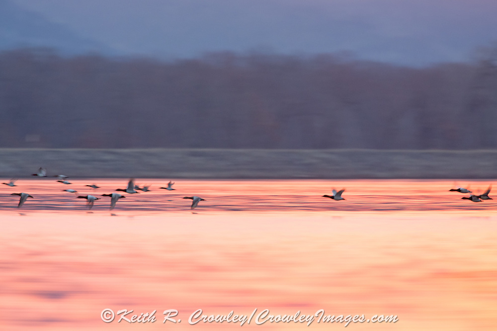 Canvasbacks in flight in early morning light