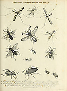 Tenebrio [Darkling beetle], Tenthedo [Sawfly and Wasp-mimic], Thrips and Tipula [Flies] Copperplate engraving From the Encyclopaedia Londinensis or, Universal dictionary of arts, sciences, and literature; Volume XXIII;  Edited by Wilkes, John. Published in London in 1828
