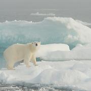 Polar bear, Svalbard, Norway.
