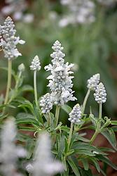 Salvia farinacea 'Victoria White'