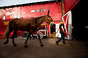 A mule is led into the Palmetto Carriage barn in Charleston, SC. Palmetto is one of several carriage tour companies providing horse and mule pulled carriage tours of the historic section of Charleston, SC.