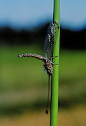 """Owlfly on grass stem - Owlflies are rarely seen and are somewat dragonflylike. Their specialty is """"ambushing"""" their prey - Mississippi"""