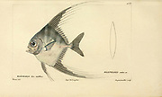 Blepharis from Histoire naturelle des poissons (Natural History of Fish) is a 22-volume treatment of ichthyology published in 1828-1849 by the French savant Georges Cuvier (1769-1832) and his student and successor Achille Valenciennes (1794-1865).