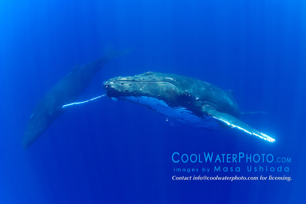 humpback whales, male and female, courtship behavior, Megaptera novaeangliae, Hawaii, Pacific Ocean
