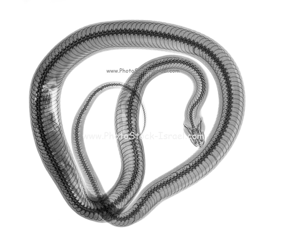 Snake under x-ray a whole mouse can be seen being digested on the left