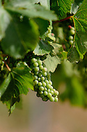 Wine grapes on vine.<br /> <br /> Larger JPEG + TIFF images available by contacting use through our contact page at : www.effectiveworkingimage.com