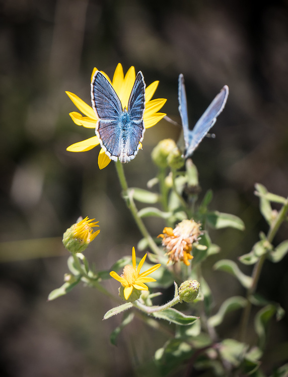 Blue copper butterfly photographed on wildflowe while hiking Antelope Canyon with Jim, Carol, Bob, Debbie, Cooper, Gregory and Janet.