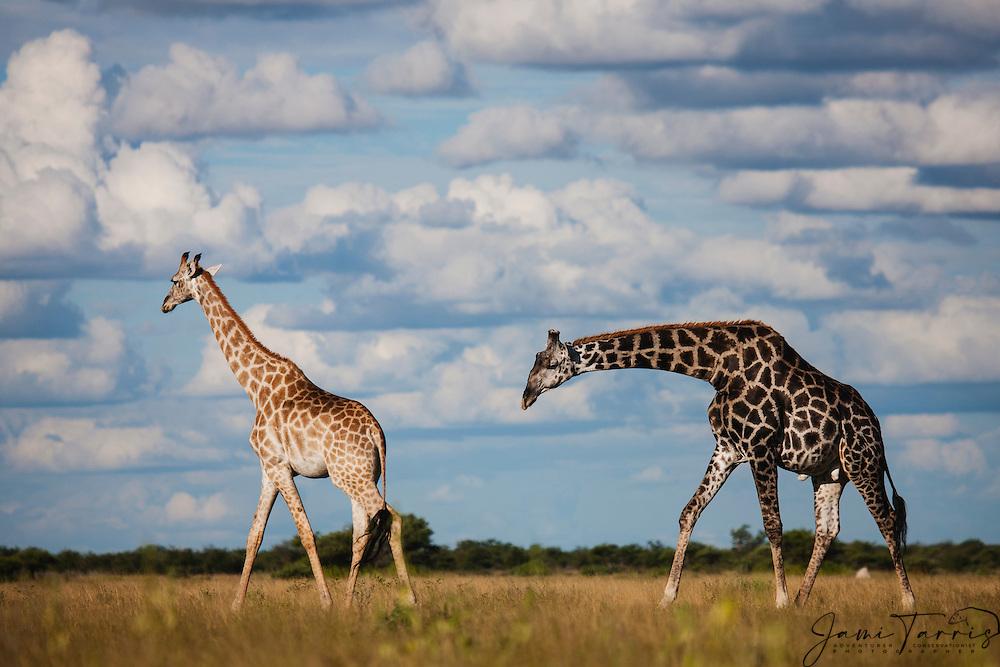 Southern giraffes (giraffa camelopardalis) walking beneath a cloudy Kalahari sky in the wet season, Kalahari, Botswana, Africa