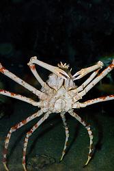 Japanese spider crab, Macrocheira kaempferi, endemic to Japan (c)