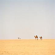 Group of camels, Sahara Desert, Libya