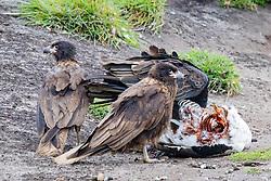 Turkey Vulture & Striated Caracaras Feeding On Upland Goose