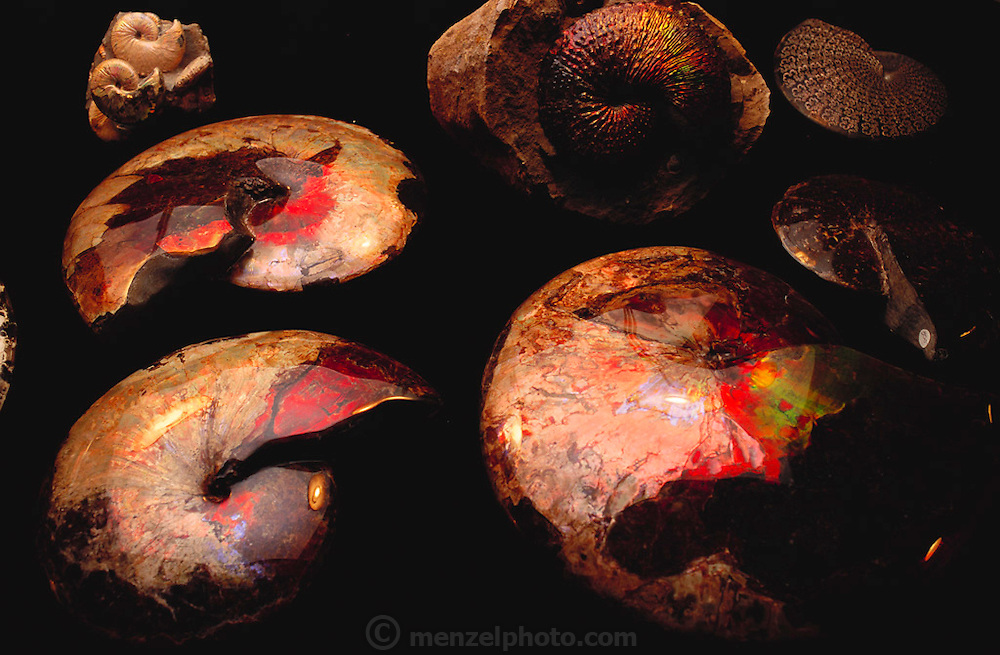 Very fine examples of fossilized ammonites, Sphenodiscus sp. The brilliant red opalescent color is due to mineral crystallization, which occurred during the fossilization process. This makes the fossils very valuable on the commercial market. The ammonites (subclass Ammonoidea) were marine mollusks, which had a clearly defined head with tentacles for gathering food. They first appeared in the Lower Devonian period (400 million years before present), becoming extinct at the end of the Cretaceous period (65 million years BP). (1991)