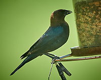 Brown-headed Cowbird. Image taken with a Nikon D5 camera and 600 mm f/4 VR lens.