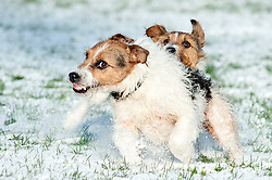 Two black, white and tan Jack Russell terrier dogs play fighting in a snow covered park <br /> .November 2010.Images © Paul David Drabble