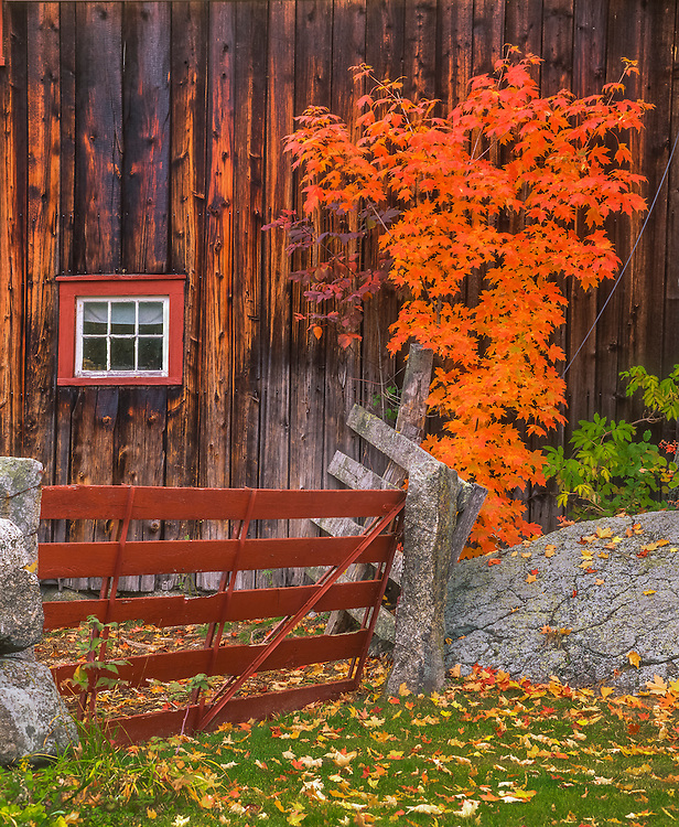 Weathered wood of barn & window detail, fall with bright maple seedling & granite post gate, Hillsborough Center, NH