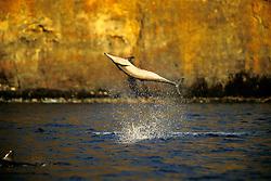 long-snouted spinner dolphin leaping, Stenella longirostris, Kealakekua Bay, Big Island, Hawaii, Pacific Ocean