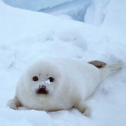 Harp Seal, pup on ice pack often called a white coat. Spring.