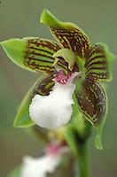 Orquidea, Zygopetalum, Zygopetalum spp.