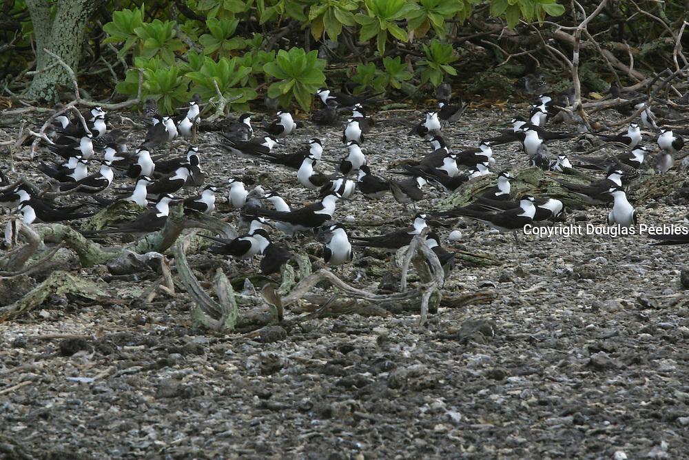 Sooty Terns, sterna fuscata, Ducie Island, Pitcairn Group<br />