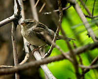 Female House Sparrow. Boulder Marriott Residence Inn. Image taken with a Nikon D2xs  camera and 70-200 mm f/2.8 lens.