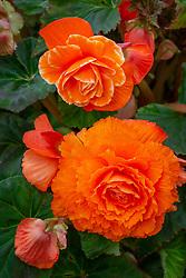 Begonia 'Expresso Sugardip'