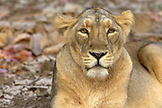 Female Asiatic lion (anthera leo persica) at Gir Wildlife sanctuary.
