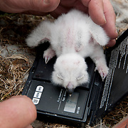Denver Holt weighs a snowy owl (Bubo scandiacus) chick on the north slope of Brooks Range, Alaska.