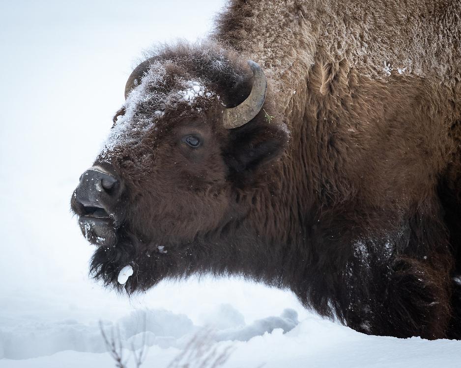 Bison bison, Yellowstone NP, February 2021<br /> Flehmen response