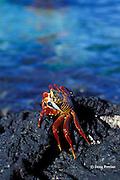 Sally Lightfoot crab, Grapsus grapsus, Galapagos Islands, Ecuador,  ( Eastern Pacific Ocean )