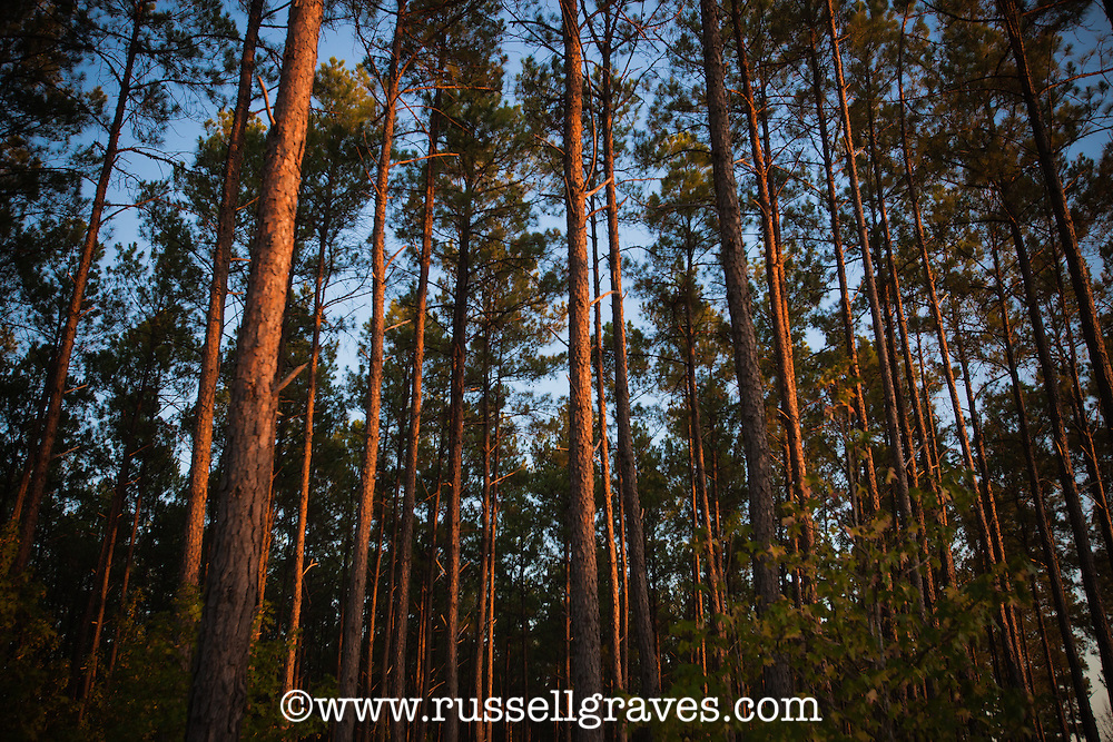 SOUTHERN YELLOW PINE FOREST