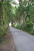 Vertical of country lane with cottonwoods