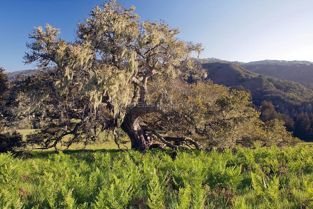 Coast live oak on the Santa Lucia Preserve, Carmel, California.