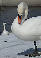 A swan is a frequent visitor to the Oslofjord water surrounding the Operahuset in Oslo, Norway, on May 10, 2013. (© 2013 Cindi Christie)