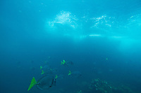 School of Razor Surgeonfish (Prionurus laticlavius) Galapagos Islands, Ecuador.
