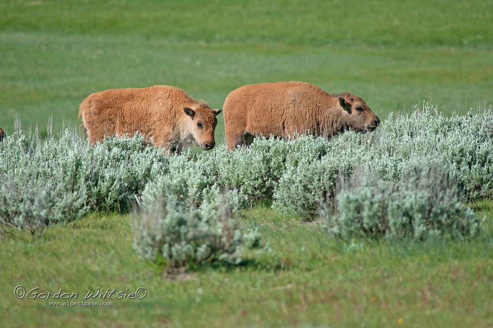 American Bison (Bison bison) calves graze between sagebrush in meadows in  Yellowstone National Park, Wyoming.