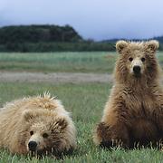 Alaskan Brown Bear cubs in Katmai National Park, Alaska.