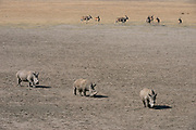 White Rhinoceros (Ceratotherium simum) & Eland (Taurotragus oryx)<br /> Private game ranch<br /> Great Karoo<br /> SOUTH AFRICA