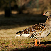 Goose with injured wing at Villafáfila.