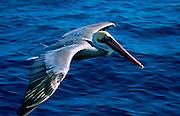 Pelican<br />