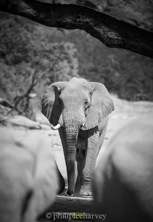 Desert Elephant, Hoanib River, Skeleton Coast, Northern Namibia, Southern Africa