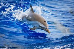 pantropical spotted dolphin, Stenella attenuata, baby jumping, Kona Coast, Big Island, Hawaii, Pacific Ocean