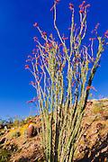 Morning light on barrel cactus and ocotillo, Anza-Borrego Desert State Park, California USA