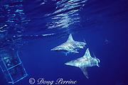 sandbar sharks, Carcharhinus plumbeus, swim past viewing cage, North Shore, Oahu, Hawaii ( Central Pacific Ocean )