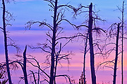 Trees in burn at sunrise<br />