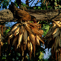 Asia, Nepal, Bardia. Drying corn husks in Tharu village.
