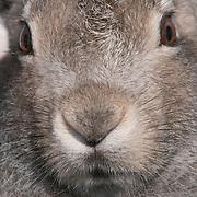 Arctic Hare on Victoria Island in Nunavut, Canada.