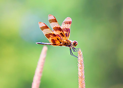A Female Calico Pennant Dragonfly Perched On A Weed