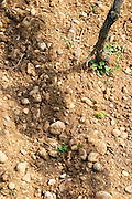 Young vines in the vineyard on the typical sandy pepply (galets) soil in Crozes Hermitage. A detail of the soil.  Domaine du Colombier, Crozes-Hermitage, Mercurol, Drome Drôme, France Europe